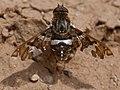 1500exoprosopacaliptera DSC6698 DxO.jpg