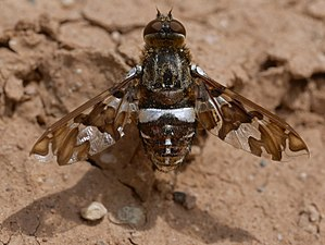 Bombyliidae - Exoprosopa caliptera in Great Sand Dunes National Park, Colorado, US - note the silvery mirror stripes formed by patches of specialized hairs modified into reflecting scales