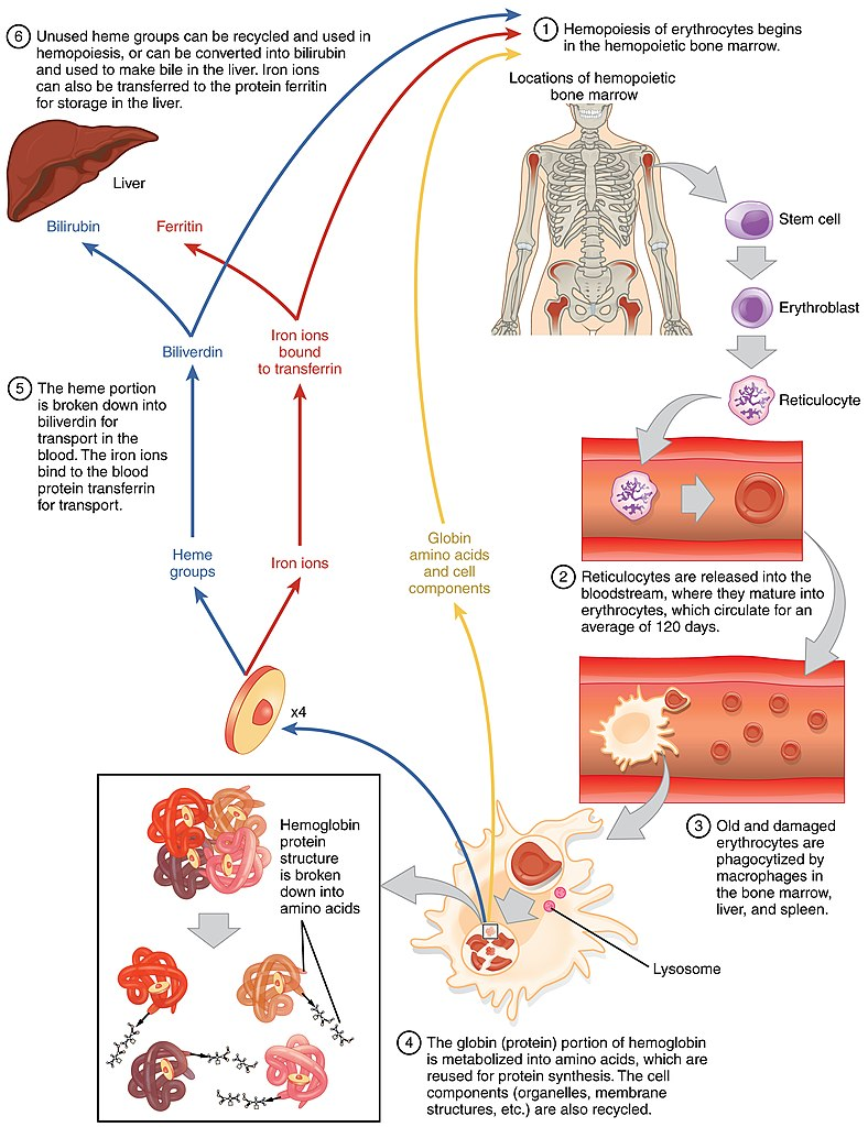 association between pernicious anemia and orthostatic Anemia's profile, publications, research topics, and co-authors.
