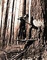 1939. Faller working on burned tree. Smith operation. Tillamook Burn, Oregon. (33208216623).jpg