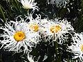 1 - Leucanthemum sp. 1.jpg