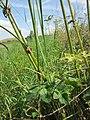 20120813Heracleum sphondylium4.jpg