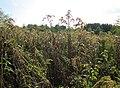 20120922Solidago canadensis2.jpg