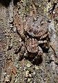 2013.06.04.-19-Viernheimer Heide Viernheim-Vierpunktspringspinne-Sitticus pubescens-Weibchen.jpg