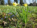 20130402Narcissus pseudonarcissus2.jpg