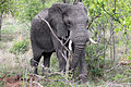 2014-11-23 067 Elefant (Elephantidae) anagoria.JPG