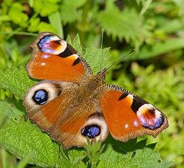 Babôčka pávooká (Inachis io) - motýľ