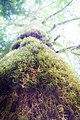 2017-06-24 Cathedral Grove (36609106836).jpg
