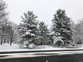 2018-03-21 11 37 33 Snow-covered Eastern White Pines along Franklin Farm Road (Virginia State Route 6819) in the Franklin Farm section of Oak Hill, Fairfax County, Virginia.jpg