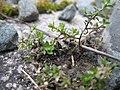 20180306Arenaria serpyllifolia.jpg