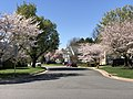2020-03-30 15 01 38 Cherry trees blooming along Huntsfield Court in the Franklin Farm section of Oak Hill, Fairfax County, Virginia.jpg