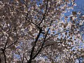 2021-03-30 11 42 16 Flowers on a cherry blooming along Indale Court in the Franklin Farm section of Oak Hill, Fairfax County, Virginia.jpg