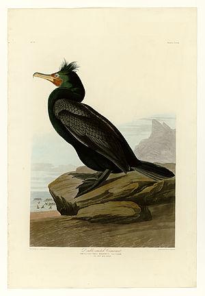 Cormorant culling - Double-crested cormorant