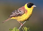 28-090504-black-headed-bunting-at-first-layby edit.jpg