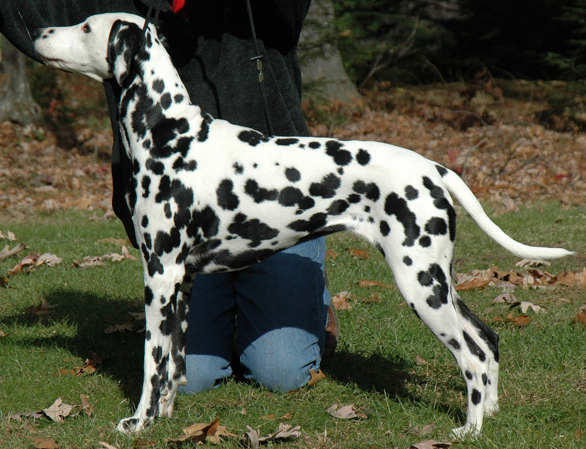 Image Result For Dalmatian Dogs Full