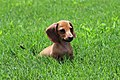 3-month-old dachshund puppy.jpg