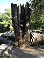 3. Сімейне дерево, (парк «Софіївка»), Умань.JPG