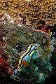 44-EastTimor-Dive Atauro-Outer Reef 15 (Nudibranch Chromodoris-Annae)-APiazza.JPG