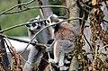 50 Jahre Knie's Kinderzoo Rapperswil - Lemur catta 2012-10-03 15-27-44.JPG
