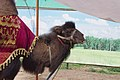 A Friendly, Fuzzy Camel (7508111530).jpg