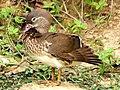 A Mandarin duck.jpg
