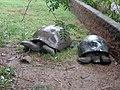 A century old tortoises.jpg