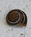 A mediterranean sandhill snail (Pseudotachea sp.) - Flickr - S. Rae.jpg