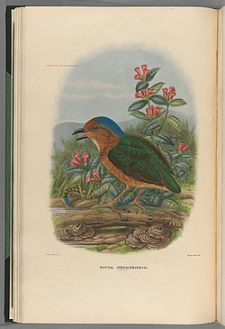A monograph of the Pittidæ, or family of ant-thrushes (Plate VIII) (8231506185).jpg