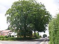 A rather splendid beech tree at the junction of Lugtrout Lane and Wherretts Well Lane - geograph.org.uk - 1398059.jpg