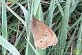 A version of meadow brown (NH) (14482984538).jpg