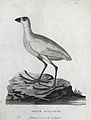 A white gallinule standing on a rock in a river.Etching by P Wellcome V0022862ER.jpg