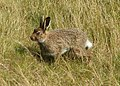 A young Mountain Hare on Shelf Moss - geograph.org.uk - 1453397.jpg