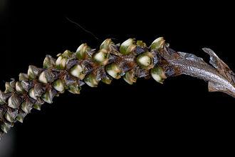 Aa (plant) - Image: Aa species