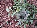 Abandoned Robin Nest.jpg