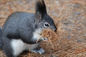 Abert's squirrel - Abert's squirrel collecting nesting material