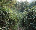 Abrus langshanensis habitat in Langshan, Xinning, Hunan - ZooKeys-318-081-g003-28.jpeg