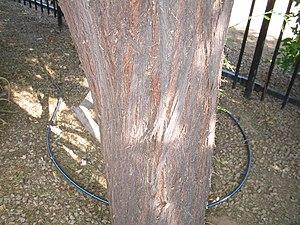 Senegalia berlandieri - Image: Acacia berlandieri bark