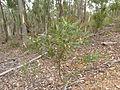 Acacia penninervis (5368395311).jpg