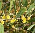 Acacia redolens 4.jpg
