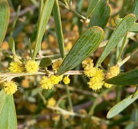 Acacia redolens 4