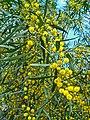 Acacia saligna 002.JPG