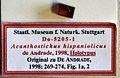 Acanthostichus hispaniolicus SMNSDO5205-1 04.jpg