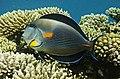 Acanthurus sohal - Arabischer Doktorfisch- Аравийская рыба-хирург DSCF9129WI.jpg