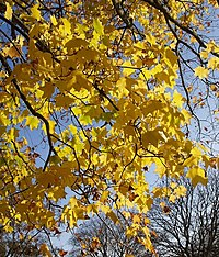 Acer near Birch Walk - geograph.org.uk - 604626.jpg