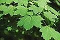 Acer platanoides (Norway maple) 1 (44511985950).jpg