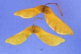 Acer platanoides seeds.jpg