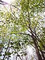 Acer pseudosieboldianum 03.JPG