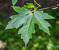 Acer saccharinum in Eastwoodhill Arboretum (2).jpg