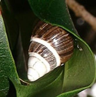 Achatinella mustelina - Achatinella mustelina