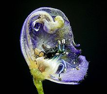 Section through a real flower of the blue monkshood Aconitum napellus.